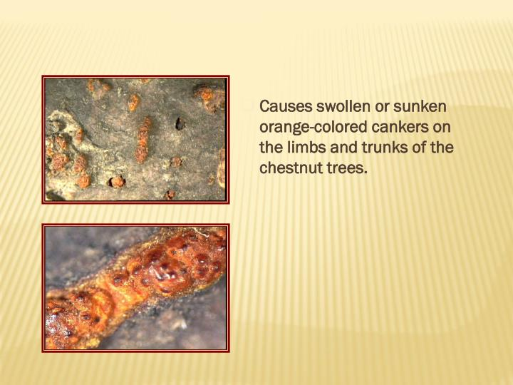 Causes swollen or sunken orange-colored cankers on the limbs and trunks of the chestnut trees.