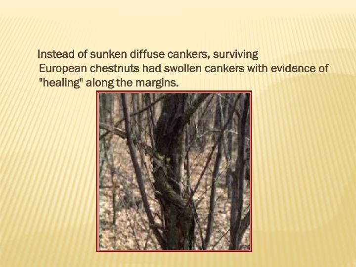 Instead of sunken diffuse cankers,surviving
