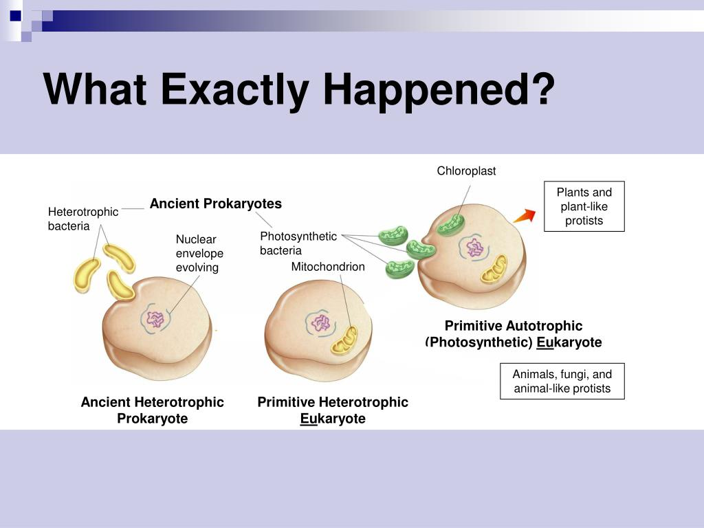 PPT - Endosymbiotic Theory PowerPoint Presentation, free ...