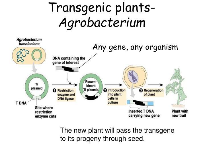 Transgenic plants-
