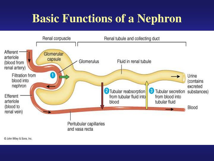 Basic Functions of a Nephron