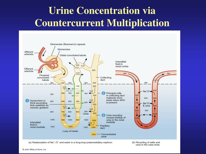 Urine Concentration via