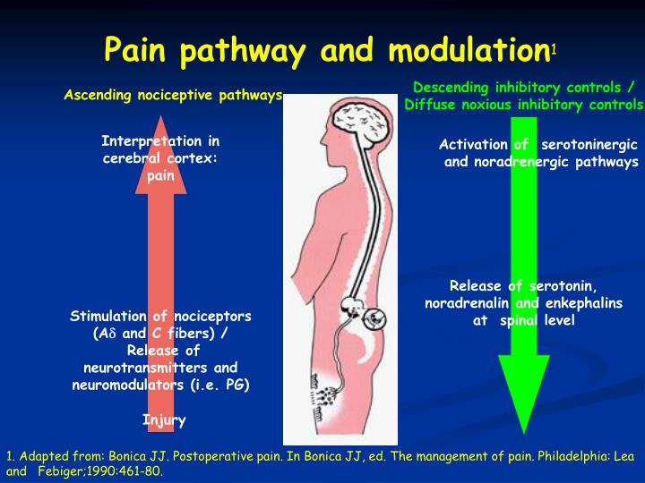 Pain pathway and modulation