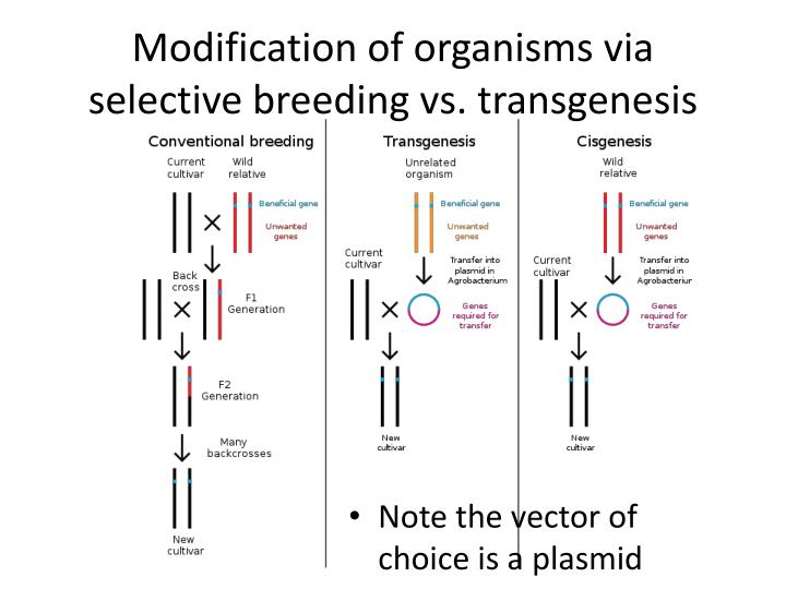 transgenesis and selective breeding Compassion in world farming - wwwciwforg selective breeding of farm animals is selective breeding good for animals - 1 many meat chickens go lame this is a result of selective breeding.