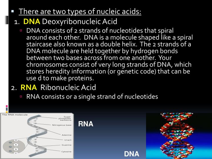 There are two types of nucleic acids: