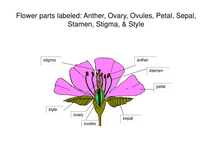 flower parts labeled anther ovary ovules petal sepal stamen stigma style n