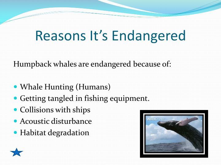 Reasons It's Endangered