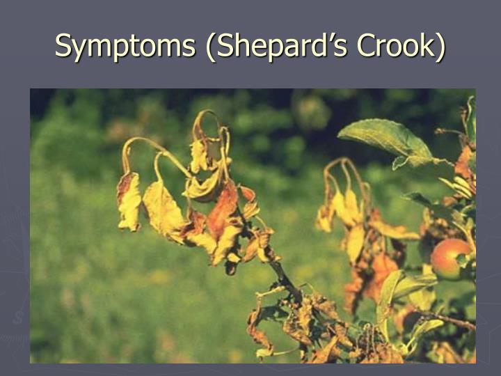 Symptoms (Shepard's Crook)