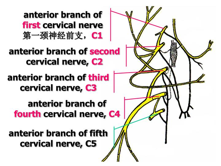 Anterior branch of