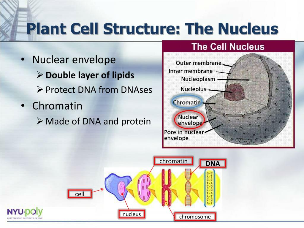 PPT - Extraction and Gel Analysis of DNA PowerPoint ...