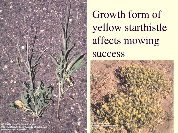 Growth form of yellow starthistle affects mowing success
