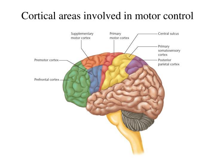 PPT - Motor cortex PowerPoint Presentation - ID:6827583