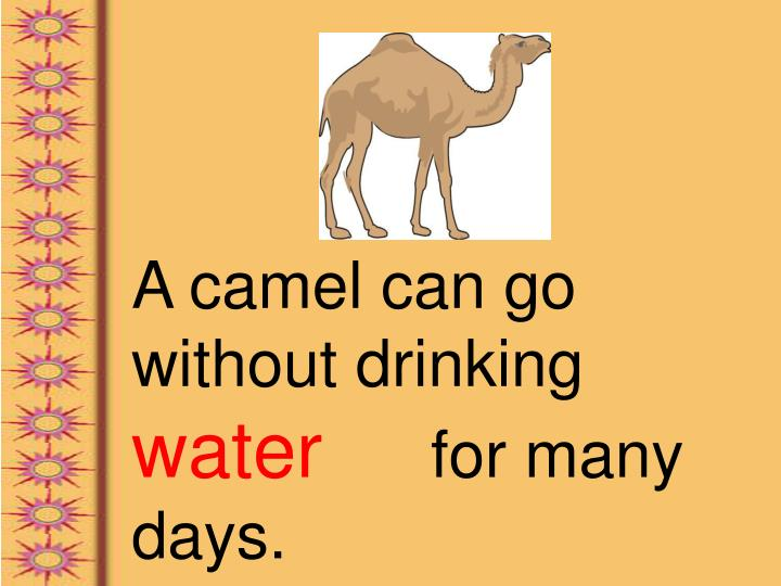 A camel can go without drinking