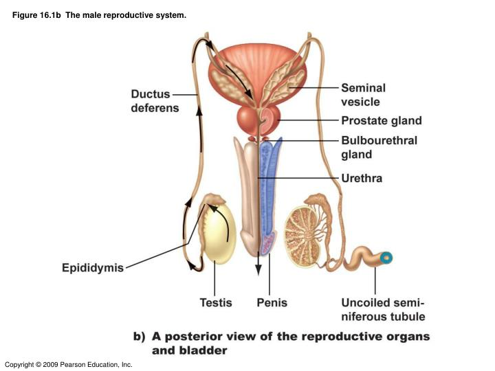 Ppt Figure 161b The Male Reproductive System Powerpoint