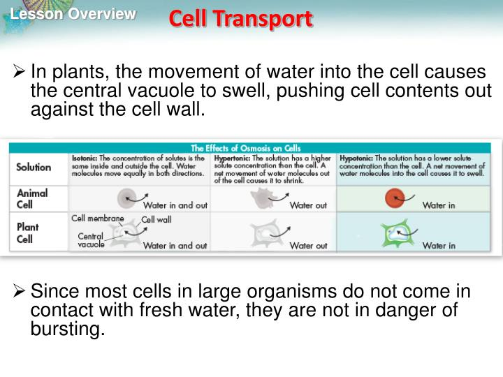 In plants, the movement of water into the cell causes the central vacuole to swell, pushing cell contents out against the cell wall.