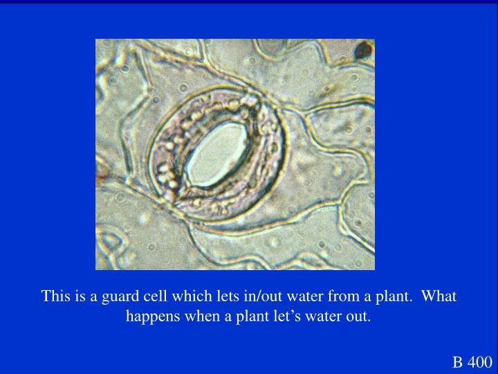 This is a guard cell which lets in/out water from a plant.  What happens when a plant let's water out.