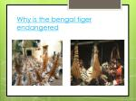 why is the bengal tiger endangered