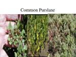 common purslane