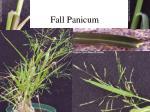 fall panicum