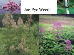 joe pye weed