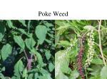 poke weed