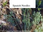 spanish needles