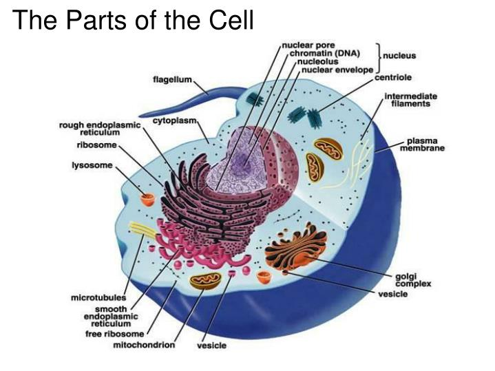 PPT - The Parts of the Cell PowerPoint Presentation, free ...