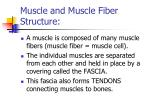 muscle and muscle fiber structure