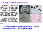 3 3 aspergillus niger