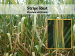 stripe rust puccinia striiformis