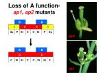 loss of a function ap1 ap2 mutant s