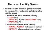meristem identity genes