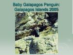 baby galapagos penguin galapagos islands 2005