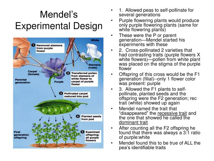 PPT - Mendel and Heredity PowerPoint Presentation - ID:6847516