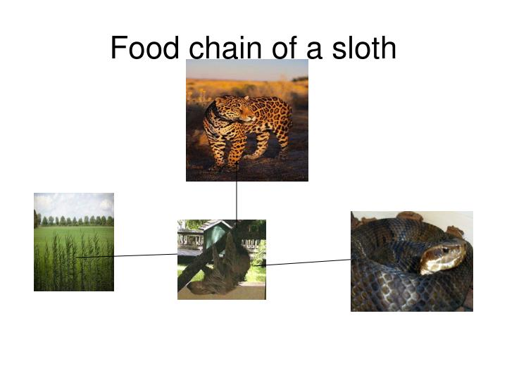Food chain of a sloth