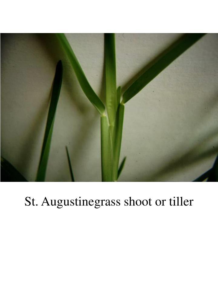 St. Augustinegrass shoot or tiller