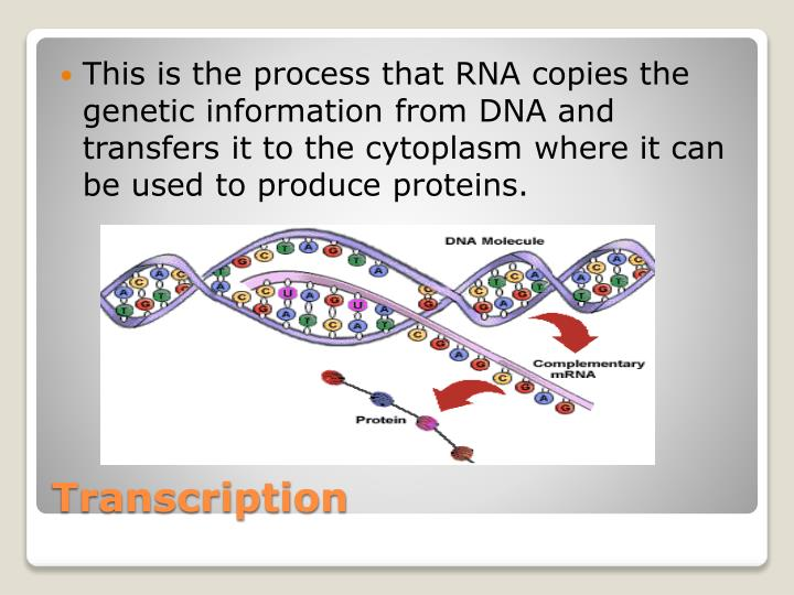 This is the process that RNA copies the genetic information from DNA and transfers it to the cytoplasm where it can be used to produce proteins.