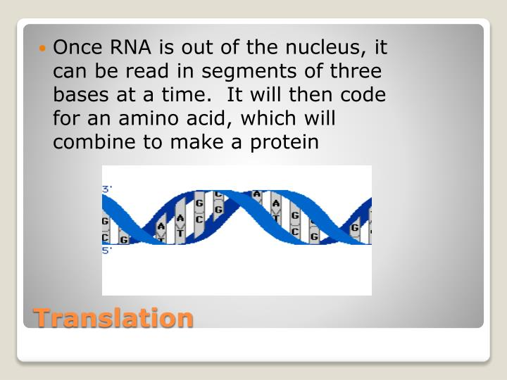 Once RNA is out of the nucleus, it can be read in segments of three bases at a time.  It will then code for an amino acid, which will combine to make a protein