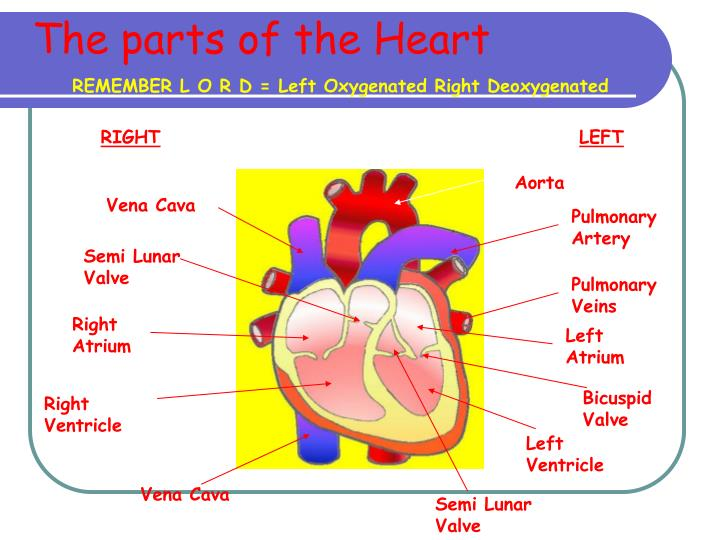 The parts of the Heart