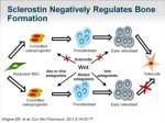 sclerostin negatively regulates bone formation