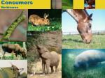 consumers herbivores