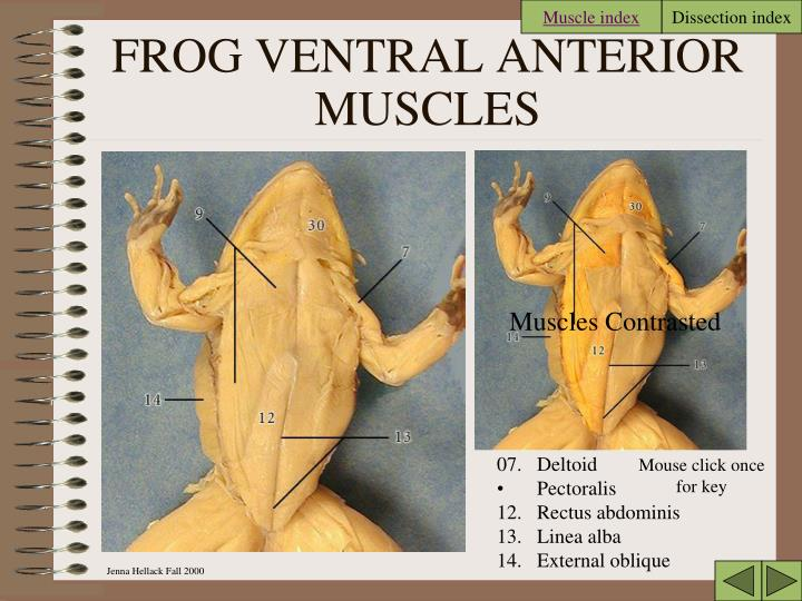 Ppt Frog Dissection Powerpoint Presentation Id6851320