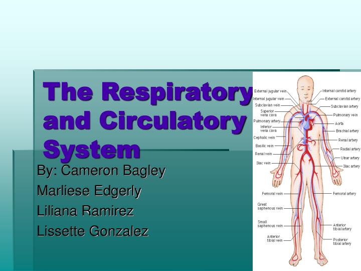 the respiratory and circulatory system n.