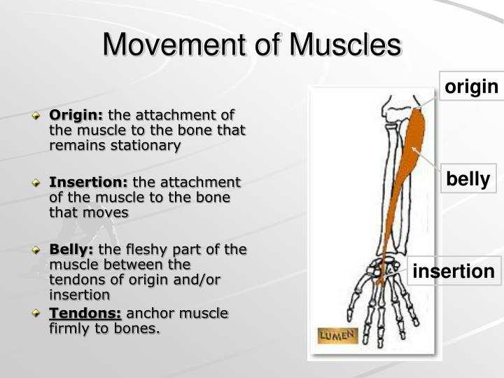 Movement of Muscles