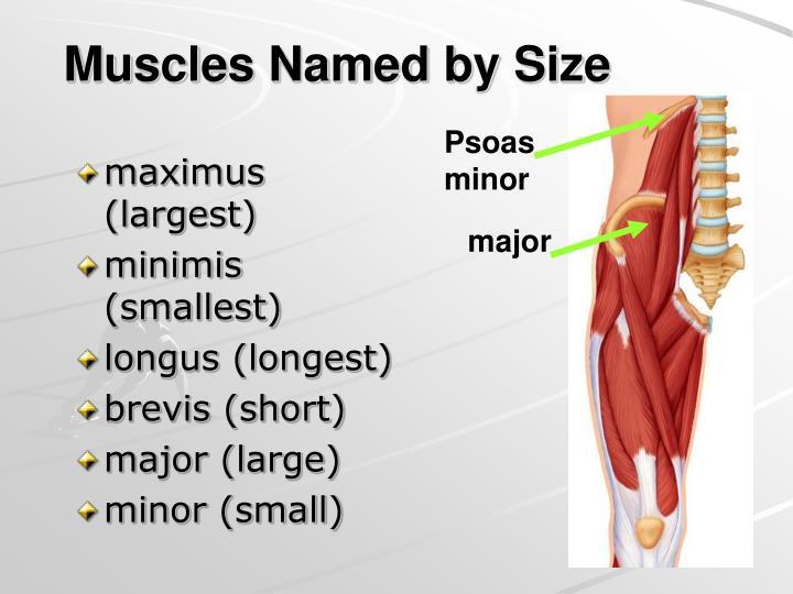maximus (largest)