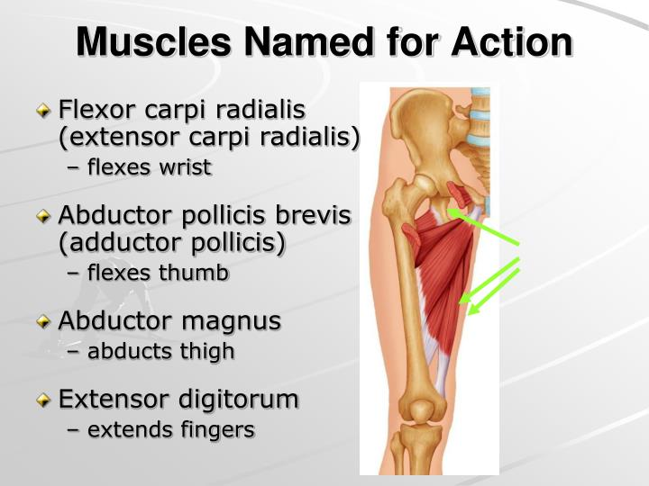 Muscles Named for Action