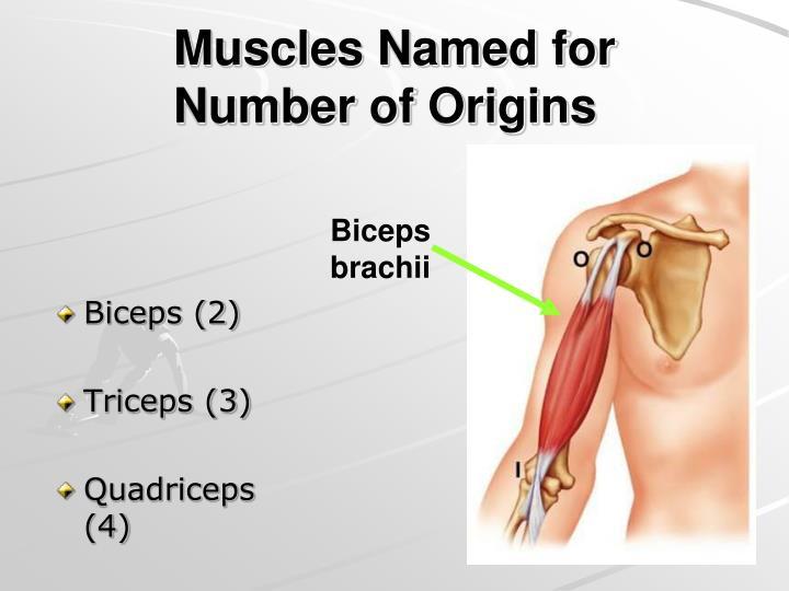 Biceps (2)