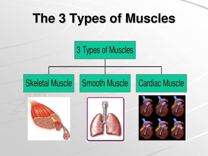 The 3 types of muscles