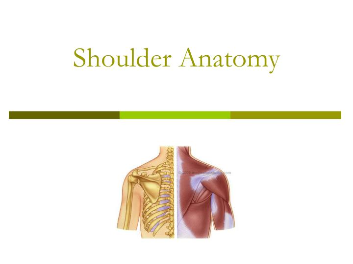 shoulder anatomy n.