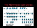 the mammalian hox genes